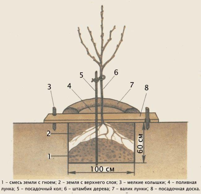 Устройство и размеры ямы для весенней посадки саженца сливы