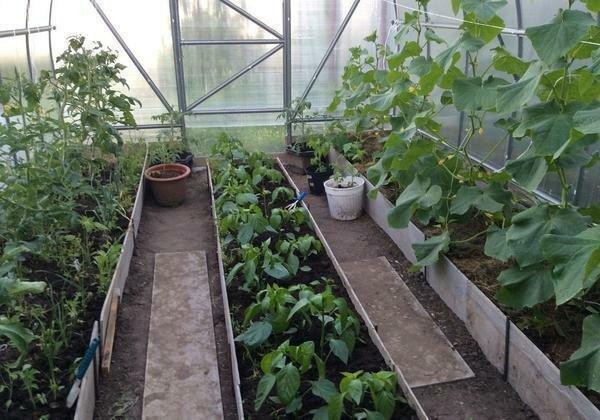 Посадки огурцов и помидоров по разным сторонам теплицы и перец посередине