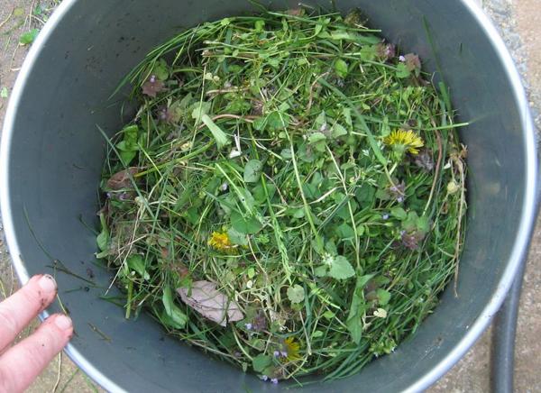 Смесь скошенной травы и ботвы одуванчиков в оцинкованном ведре