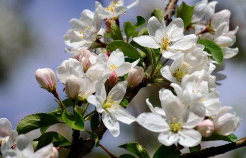 Белые цветки на ветках яблони в начале мая