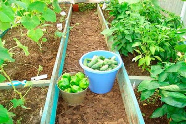 Сбор урожая огурцов и перца с совместных посадок в тепличных условиях
