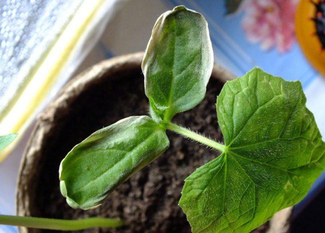 Увядание листьев огуречной рассады в торфяном стаканчике на подоконнике