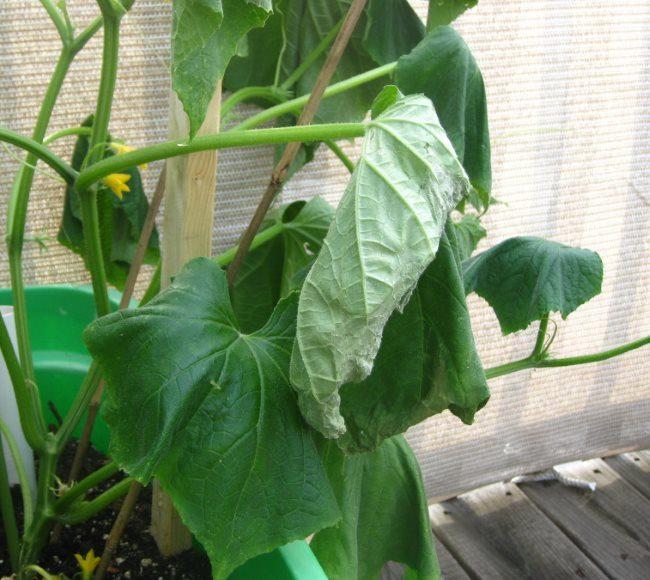 Увядание листьев огурцов при заражении растения корневой нематодой