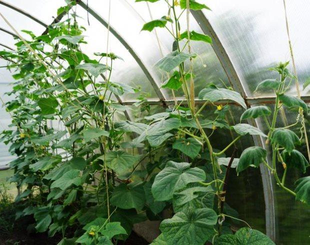 Вертикальные кусты огурцов с подвязкой к веревочной опоре в теплице