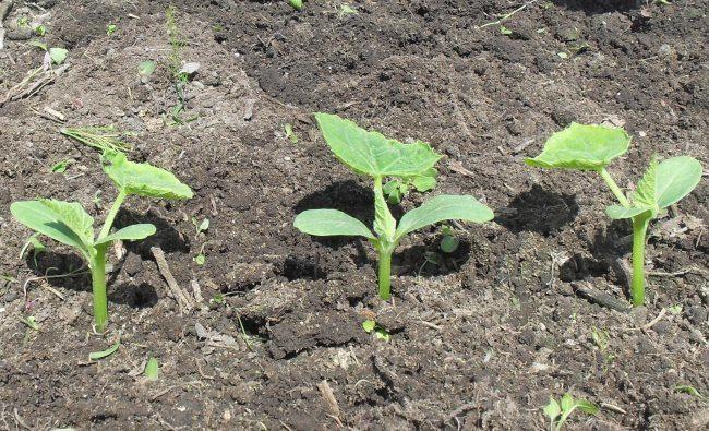 Три молодых сеянца огурца на открытой грядке в частном огороде
