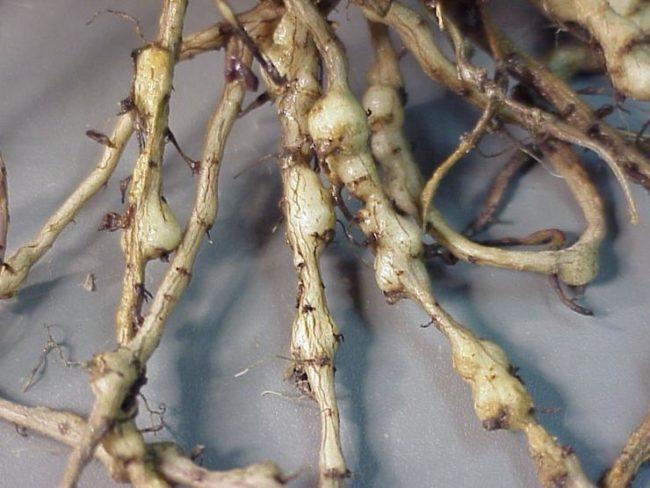 Шарообразные вздутия на корнях огурцов при поражении нематодой галлового типа