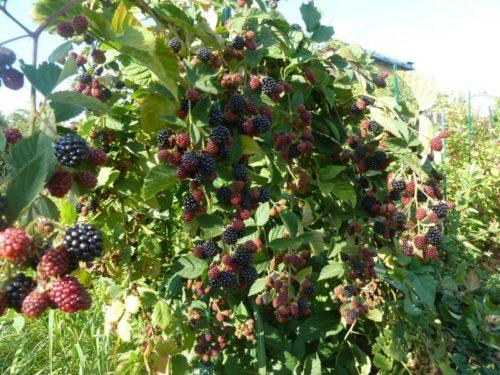 Созревание ягоды на ветках ежевики прямостоячего сорта