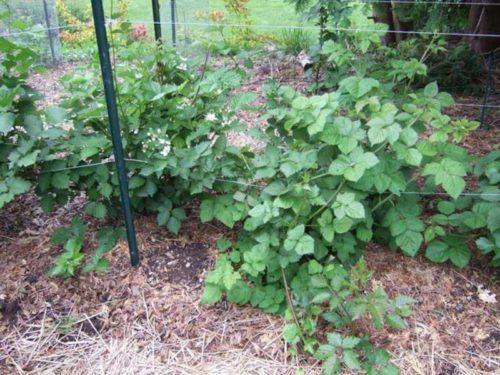Проволочная шпалера с длинными тонкими ветками садовой ежевики