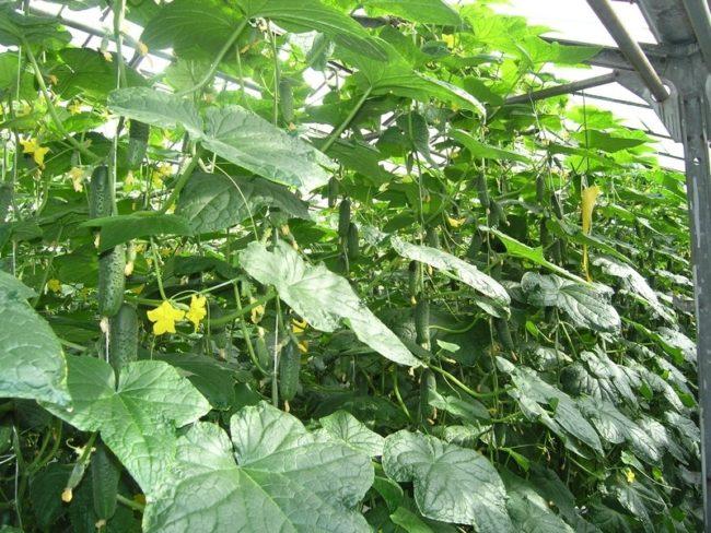 Плотно растущие кусты огурцов в теплице на оцинкованном каркасе