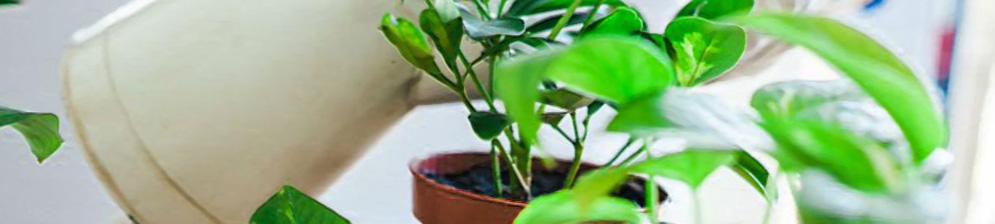 Аккуратный полив из лейки с прорезью цветка Замиокулькаса небольшого размера