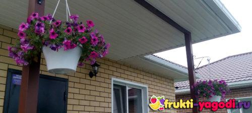 Правильно обрезанная ампельная петуния на кашпо в частном доме