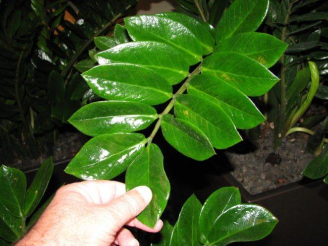 Блестящие листья замиокулькаса при правильном поливе в домашних условиях