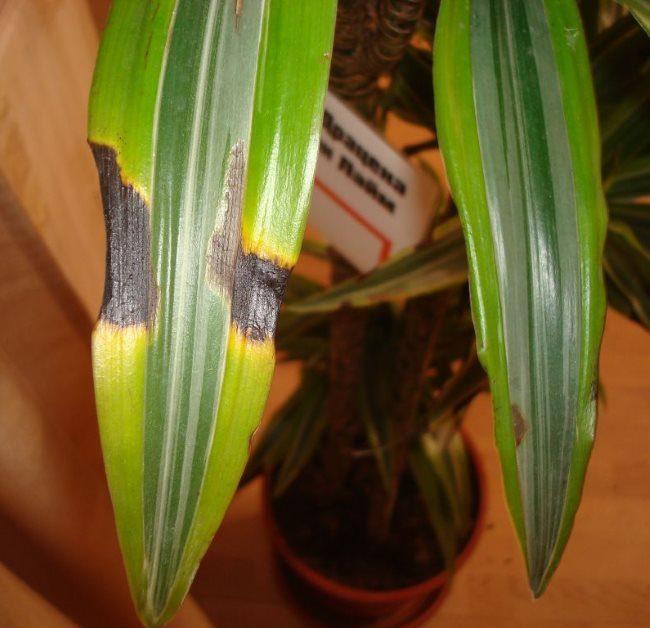 Темно-коричневые пятна на пестрых листьях драцены при переливе растения водой