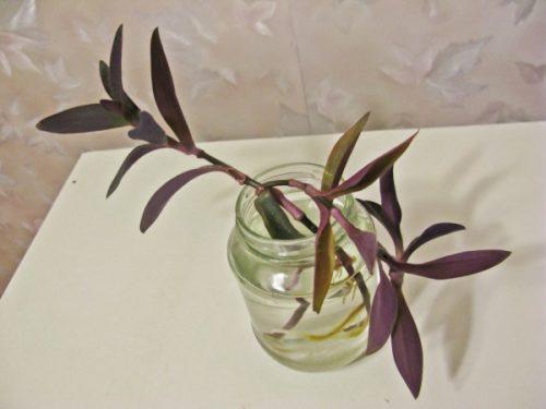 Укоренение черенков сеткреазии пурпурной в стеклянной банке с водой