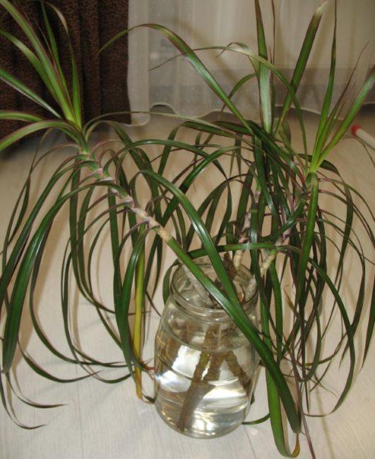 Верхушечные черенки драцены маргината в стеклянной банке с водой