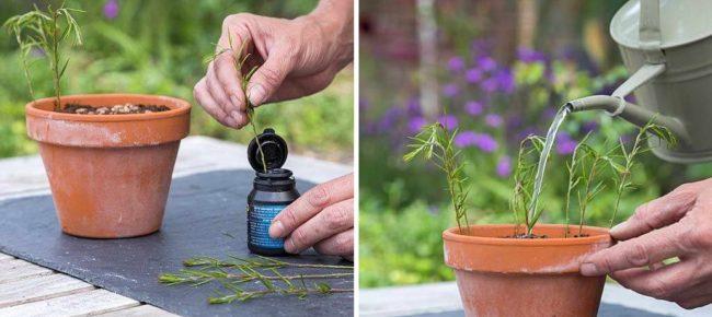Посадка черенков гревиллеи в цветочный горшок из керамического материала