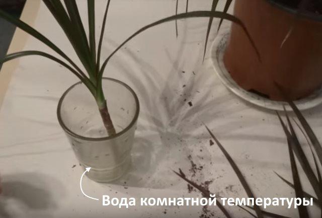 Черенок домашней драцены с листиками в стакане с водой
