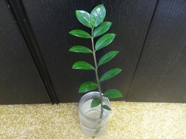 Ветка замиокулькаса с блестящими листьями в банке с водой
