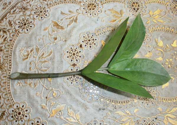 Черенок замиокулькаса с четырьмя листиками для посадки в отдельную емкость