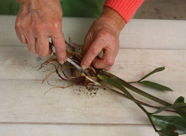 Деление корневища замиокулькаса с помощью медицинского скальпеля