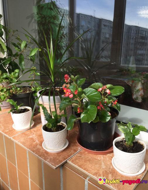 Цветок Драцены на подоконнике и другие цветы