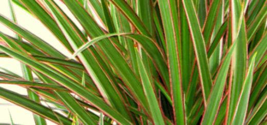 Пышные листья цветка Драцена Маргината