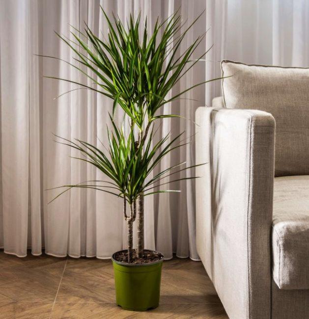 Взрослый куст драцены Маргината с пышными листьями рядом с диваном