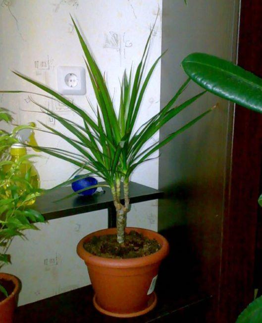 Куст драцены с острыми листьями темно-зеленого цвета в квартире панельного дома