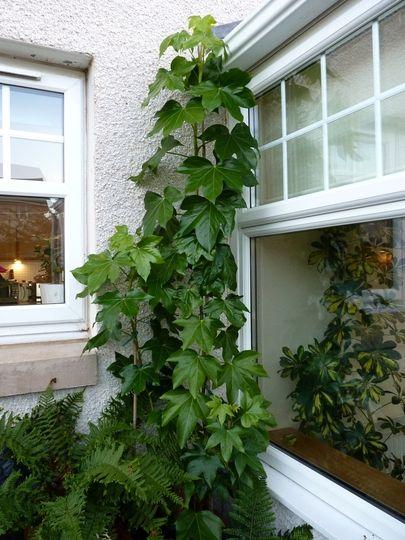 Выращивание цветка фатсхедера в форме лианы на балконе городской квартиры