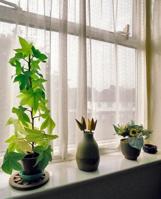 Фатсхедера на подоконнике пластикового окна под защитой тюлевой шторы