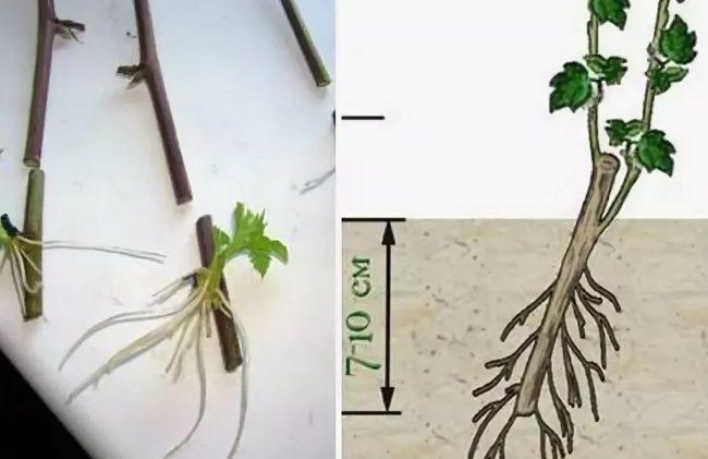 Процесс размножения фатсхедеры зелеными черенками в домашних условиях