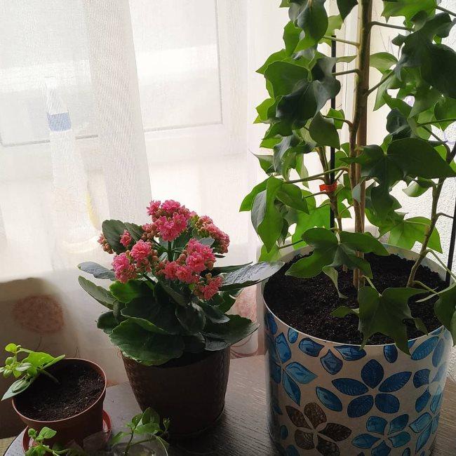 Выращивание комнатной фатсхедеры в окружении других домашних растений