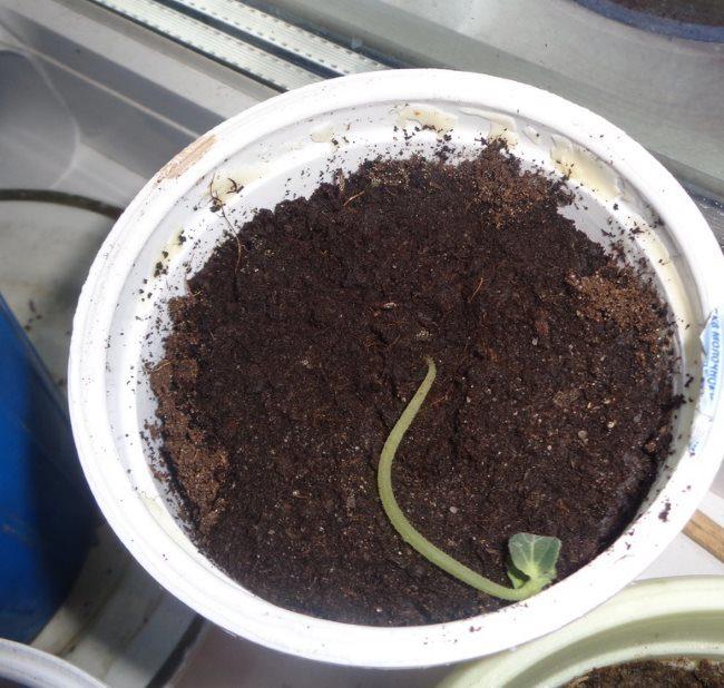 Гибель рассады огурцов при заражении черной ножкой почвы в горшке