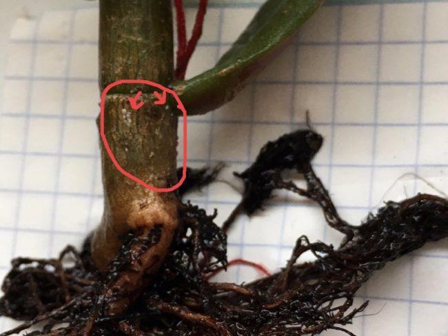 Признаки корневой гнили на прикорневой части цветка гревиллея