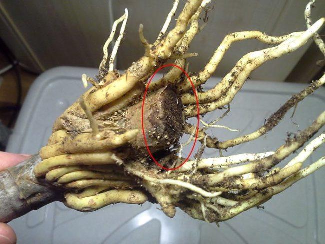 Корни драцены с признаками поражения корневой гнилью