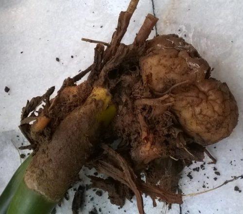 Гнилые корни замиокулькаса при переизбытке влаги в горшке