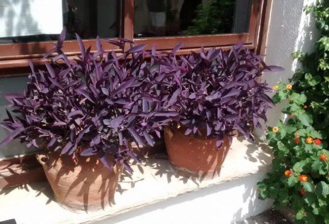 Два керамических горшка с кустиками сеткреазии пурпурной