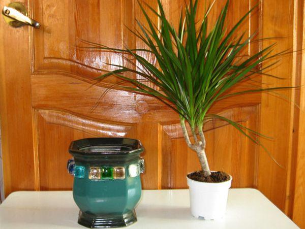 Выбор керамического горшка для пересадки драцены в домашних условиях