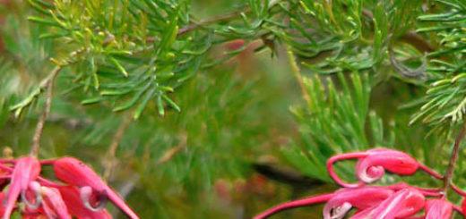 Красные цветки на Гревиллее вблизи и стебель