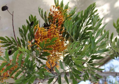 Оранжевые соцветия на ветке цветка гревиллея
