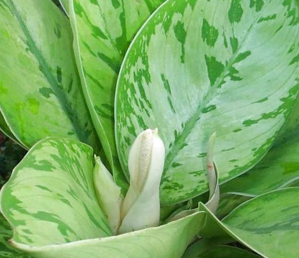 Фото распустившегося цветка хомаломены среди листьев с пятнами размытой формы