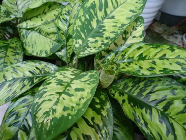 Красивые пятнистые листья хомаломены Уоллиса в домашних условиях