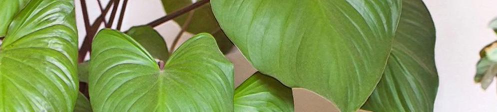 Листья цветка Хомаломены вблизи
