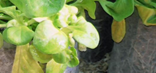Желтые листья у цветка Петуния