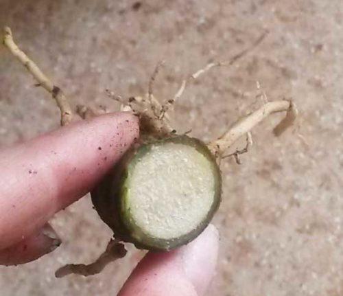 Здоровая ткань обрезанного корня драцены