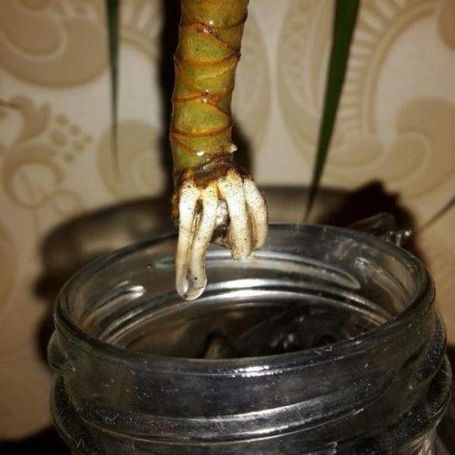Укоренение черенка драцены в воде в домашних условиях