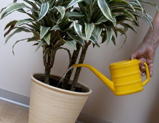 Внесение жидкого удобрения под корень драцены в домашних условиях