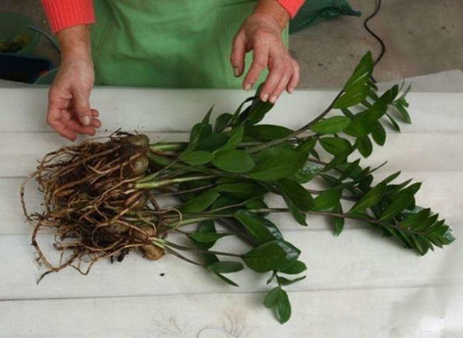 Домашний замиокулькас с очищенными корнями для деления на части