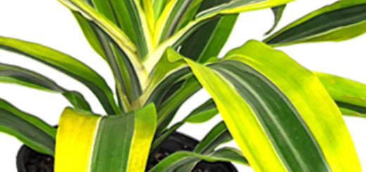 Цветок Драцены Лемон Лайм листья вблизи очень красивый