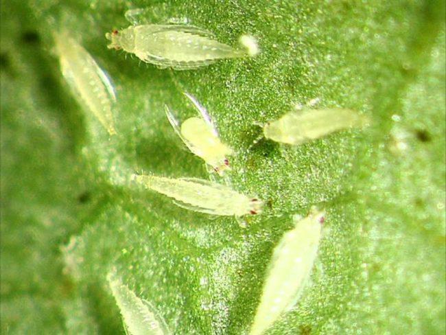 Личинки табачного трипса на огуречном листе крупным планом